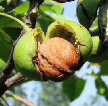 一件代发云南特产2020新鲜去青皮核桃5斤绿皮湿核桃生鲜薄皮核桃